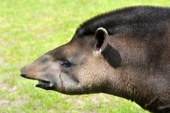 Portrait of south American tapir Stock Image