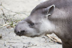 Portrait South American tapir, Tapirus terrestris Royalty Free Stock Photos