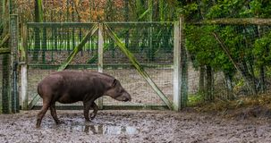 Portrait of a south american tapir, a threatened animal specie from America. A portrait of a south american tapir, a threatened animal specie from America stock image