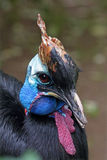 Portrait of a Southern cassowary Stock Photo