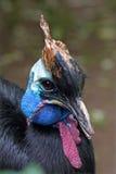 Portrait of a Southern cassowary Stock Photo