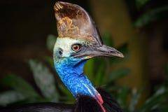 Portrait of Southern cassowary Stock Photo