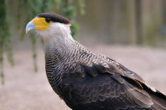 Portrait of Southern Crested Caracara Royalty Free Stock Photography