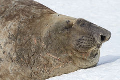 Portrait of a southern elephant seal with closed eyes Stock Photo