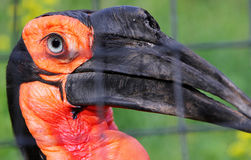 Portrait of Southern ground hornbill Bucorvus leadbeateri. Or Bucorvus cafer in the zoo Stock Photos