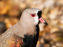 Portrait of Southern lapwing - Vanellus chilensis Stock Image