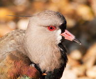 Portrait of Southern lapwing - Vanellus chilensis Stock Images
