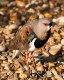 Portrait of Southern lapwing - Vanellus chilensis Royalty Free Stock Image
