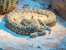 Portrait of a Southern Pacific Rattlesnakes royalty free stock photo