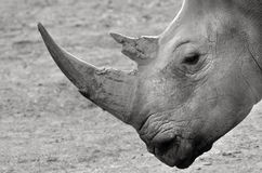 Portrait of a Southern White Rhinoceros Royalty Free Stock Photo