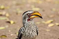 Portrait of a Southern Yellow-billed Hornbill Royalty Free Stock Images