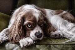 Portrait of a Spaniel dog  Royalty Free Stock Photography