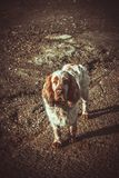 Spaniel dog in brown tones. Portrait of a Spaniel dog in brown tones stock photos