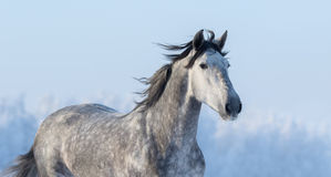 Portrait of Spanish horse on background of blue sky Royalty Free Stock Photo