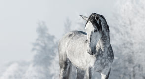 Portrait of Spanish thoroughbred grey horse in winter forest. Stock Photography