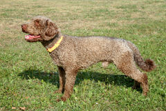 The portrait of Spanish Waterdog on a green grass lawn Royalty Free Stock Image