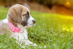 Portrait of Spansh Mastiff puppy on green grass at sunset Royalty Free Stock Photos