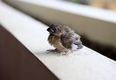 Portrait of a sparrow Stock Photography