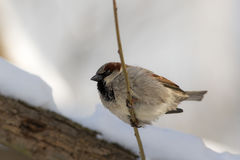 Portrait of a sparrow Royalty Free Stock Photo