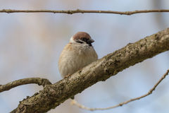 Portrait of a sparrow Royalty Free Stock Photography
