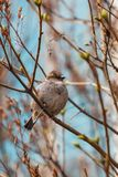 Sparrow on a branch in spring. Portrait of a sparrow on a branch in spring Royalty Free Stock Photos