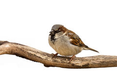 Portrait of a sparrow eating a sunflower seed Stock Image