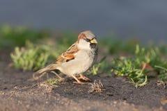 Portrait of sparrow Stock Photos