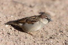 Portrait of a sparrow Royalty Free Stock Image