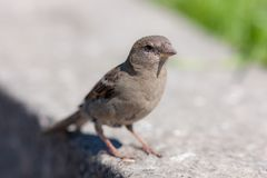 Portrait of a sparrow stock photos