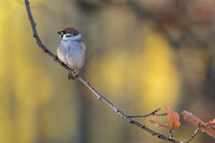 Portrait of a sparrow royalty free stock images