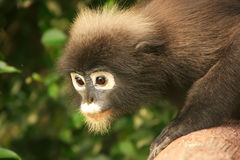Portrait of Spectacled langur, Ang Thong National Marine Park, T Royalty Free Stock Photos