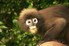 Portrait of Spectacled langur, Ang Thong National Marine Park, T Royalty Free Stock Image
