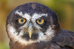 Portrait of Spectacled Owl Pulsatrix perspicillata Stock Photos