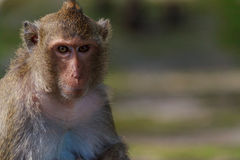 Portrait of spectacular thoughtful male monkey with blur background with copy space Stock Photos