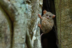 Portrait of Spectral Tarsier, Tarsius spectrum, from Tangkoko National Park, Sulawesi, Indonesia, in the large ficus tree Stock Photography