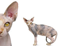 Portrait of Sphynx, 1 year old Stock Photos