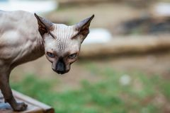 Sphynx cat discovers home's surroundings stock images