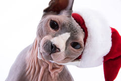 Portrait of Sphynx cat in holiday hat Stock Images