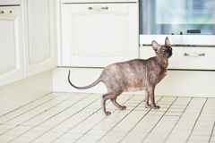 Portrait of Sphynx cat in kitchen. Pregnant Sphynx cat standing on kitchen tile floor and looking away with unhappy expression Royalty Free Stock Photo