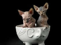 Sphynx cat posing front of camera. stock photography