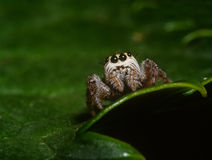Portrait of spider. Portrait of jumping spider that rest on the leaf Stock Photo