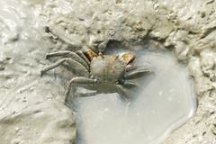 Portrait of Spider Crab Stock Photography
