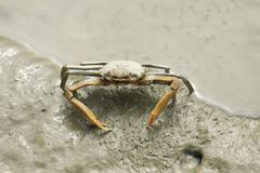Portrait of Spider Crab. Portrait of a spider crab resting on the coastal line Stock Photo