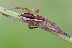 Portrait of spider-hunter. Limbic that lurked waiting for prey Royalty Free Stock Image