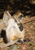 Portrait of a Spider Monkey Stock Images