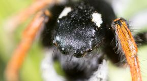 Portrait of a spider in nature. super macro Stock Images
