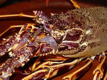 Portrait of a  spiny lobster in purple tones Stock Photography