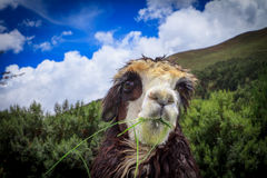 Portrait of spitting llama Royalty Free Stock Photography