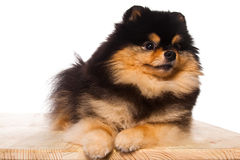 Portrait of spitz puppy Stock Images