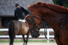 Portrait of sport brown horse in tack. During show Stock Photo